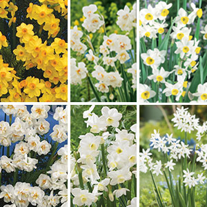 Jonquil Collection