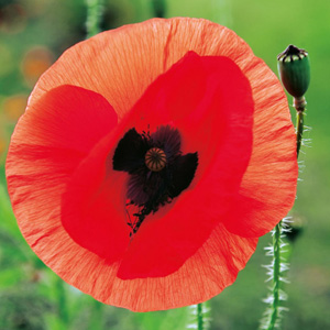 Seed – Poppy Flanders Red Remembrance