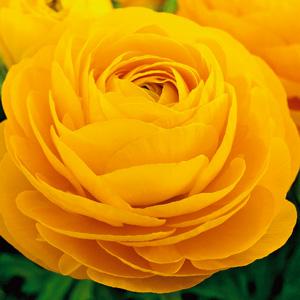 Ranunculi Yellow 16