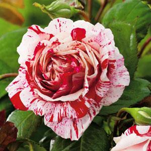 Rose Scentimental (pbr)