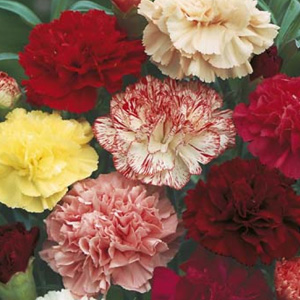 SEED – CARNATION CHOICE DOUBLE MIXED