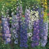 SEED – DELPHINIUM PACIFIC GIANTS MIXED
