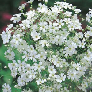 SEED – GYPSOPHILA MONARCH WHITE