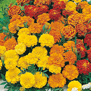 SEED – MARIGOLD (FRENCH) DWARF DOUBLE MIXED