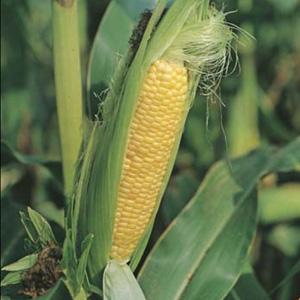 Seed Sweet Corn Early Extra Sweet F1 Garden Express