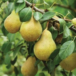 Trixzie Pear Mini Fruit Tree