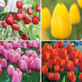 Tulip Darwin Hybrid Collection- Bold Colours