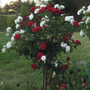 Twin Colour Standard Rose Iceberg/europeana
