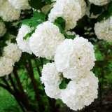 Viburnum Opulus Snowball