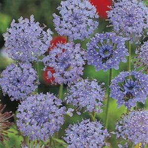 WILDFLOWER SEED – BLUE ROTTNEST ISLAND DAISY