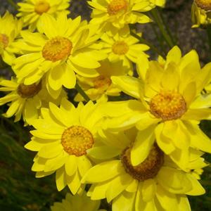WILDFLOWER SEED – GOLDEN EVERLASTING DAISY