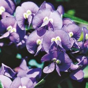 WILDFLOWER SEED – NATIVE WISTERIA