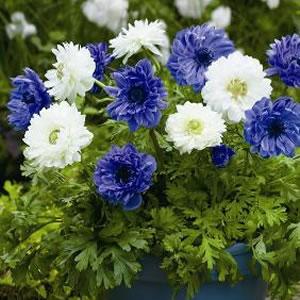 Anemone Blue White 12