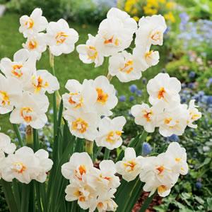Daffodil Sir Winston Churchill 15 Fm