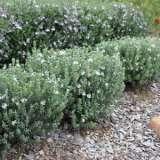 Westringia Grey Box (pbr)