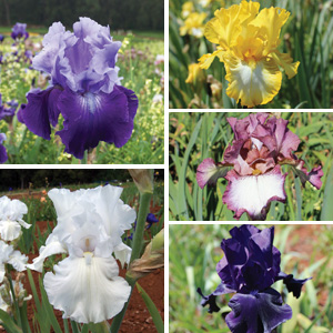 Bearded Iris Autumn Collection