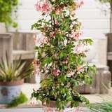 Begonia Fuchsoides