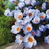 Crocus Blue Pearl
