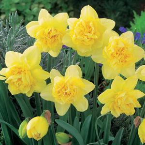 Daffodil Dick Wilden 2016 Fm