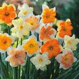 Daffodil Butterfly Mixed