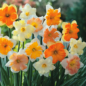 Daffodil Butterfly Mixed 15