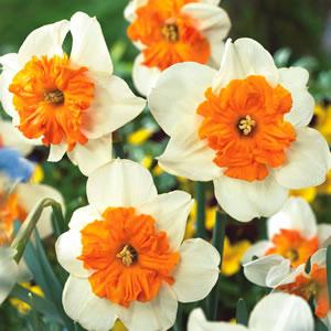 Daffodil Parisienne - Garden Express Australia