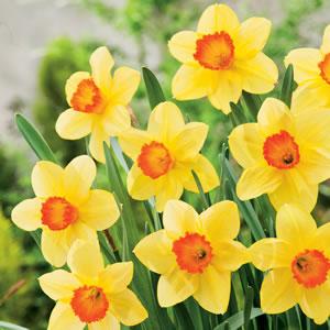 Daffodil Red Devon 15 Fm