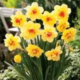 Daffodil_Tahiti_15_FM