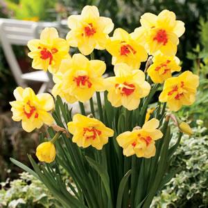Daffodil Tahiti 15 Fm