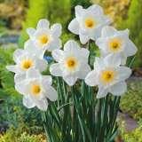 Daffodil Victorious 15 - Garden Express Australia