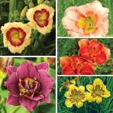Daylily Mini Autumn Collection