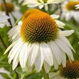 Echinacea_Pow_Wow_White_15