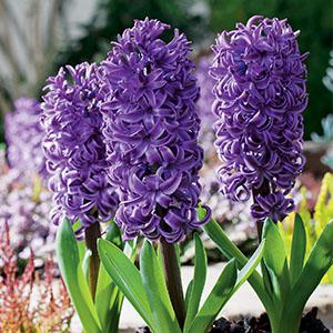 Hyacinth Purple Star - Garden Express Australia