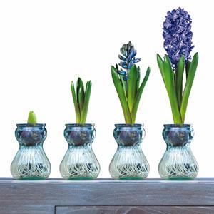 Hyacinth Vase Growing 15  VS1