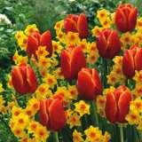 Jonquil Tulip Blend 15 Vis1
