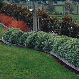 Pittosporum Golf Ball (pbr)