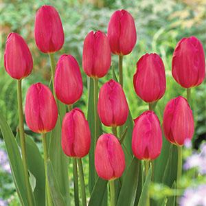 Tulip La Romaine