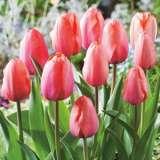 Tulip Apricot Impression 15