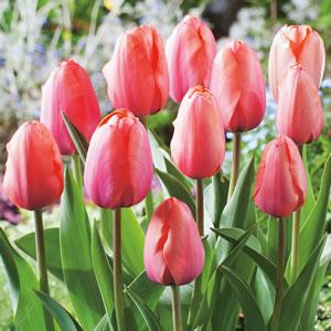 Tulip_Apricot_Impression_15