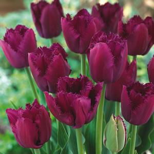 Tulip_Curly_Sue