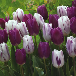 Tulip Purple And Flaming Flag 15