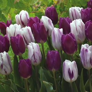 Tulip Purple And Flaming Flag 15 - Garden Express Australia