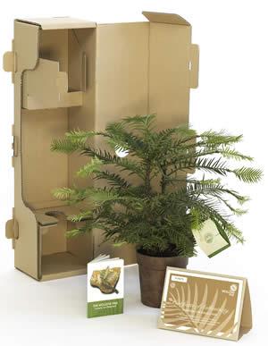 Wollemi Pine – 430mm Pot