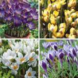 CROCUS SPECIALTY COLLECTION