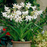 Crinum Lily White