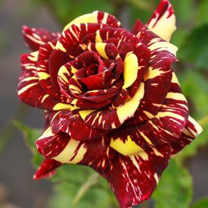Rose Candy Stripe