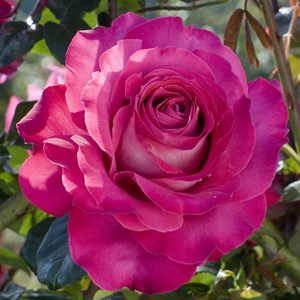Rose Baronne De Rothschild