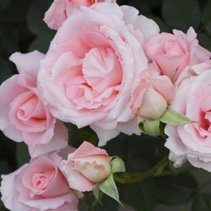 Brindabella Rose Pink Bouquet