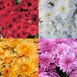 COLGMYCOL-Garden-Mum-Chrysanthemum-17