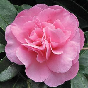 Camellia_Jennifer_Susan_15_(camellias r us)